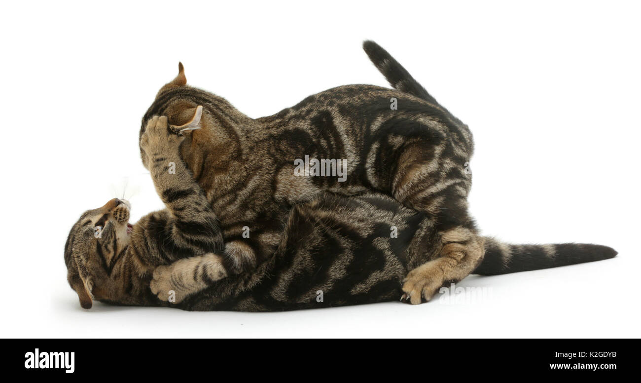 Tabby cats Picasso and Smudge, age 4 months, play-fighting. - Stock Image