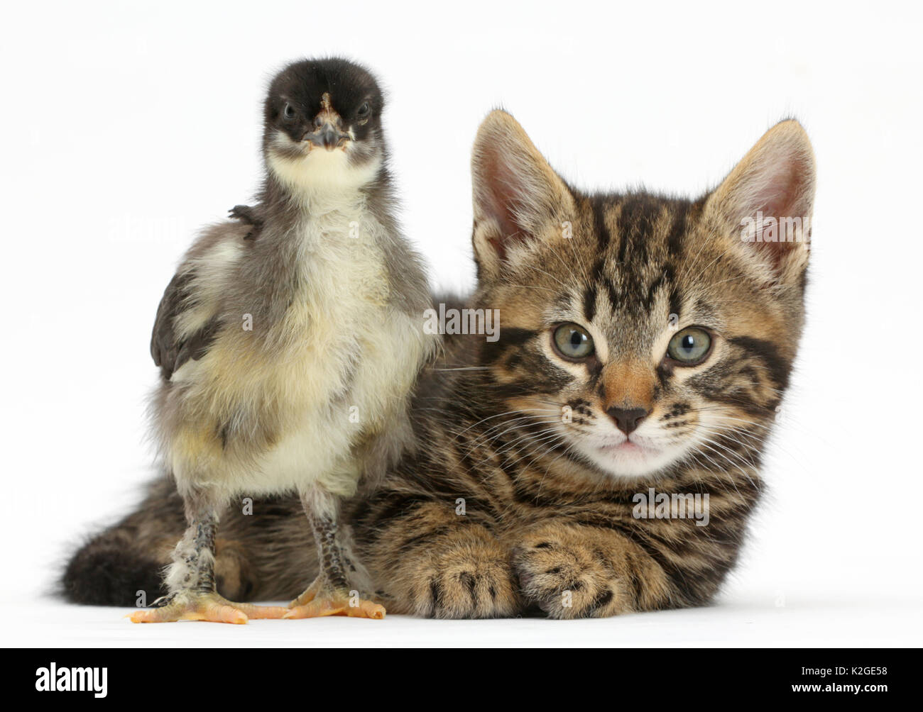 Tabby kitten, Smudge, 7 weeks, with a domestic hen chick. - Stock Image