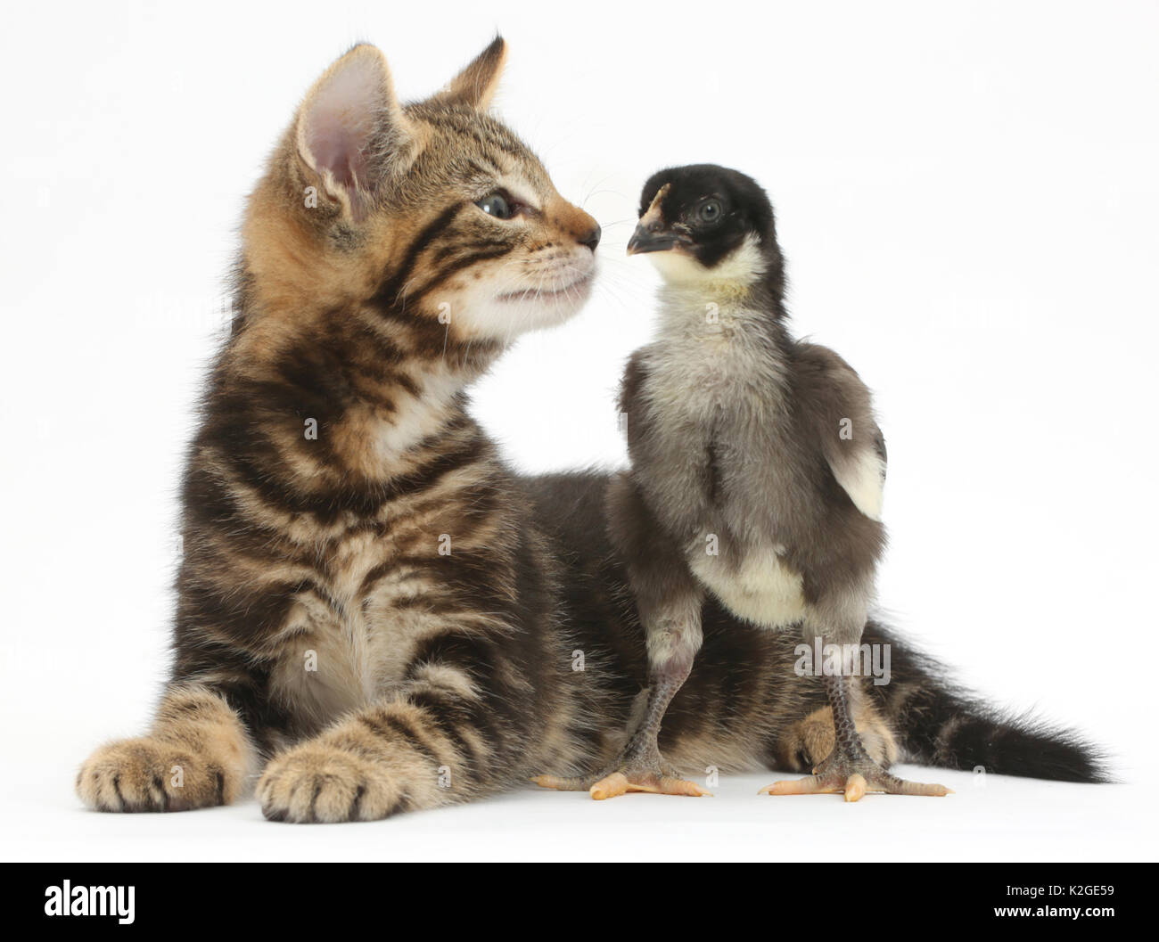 Tabby kitten, Picasso, 7 weeks, with a domestic hen chick. - Stock Image