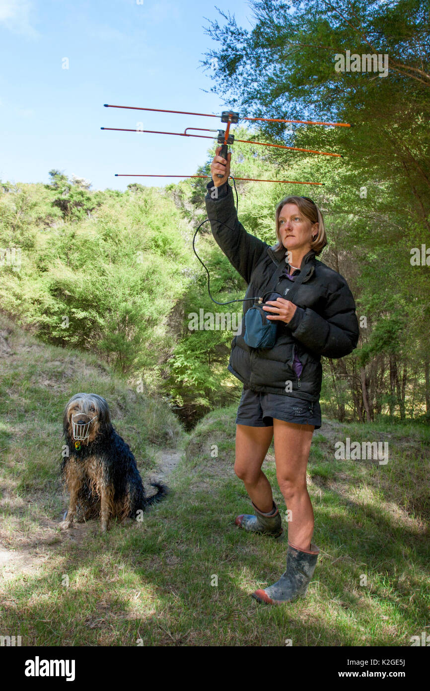 Researcher using radio-telemetry equipment to track a Northern brown kiwi (Apteryx mantelli) fitted with a radio transmitter. Beside her stands a trained kiwi-tracking dog, Cape Kidnappers, Hawkes Bay, New Zealand, November 2007. Model released. - Stock Image