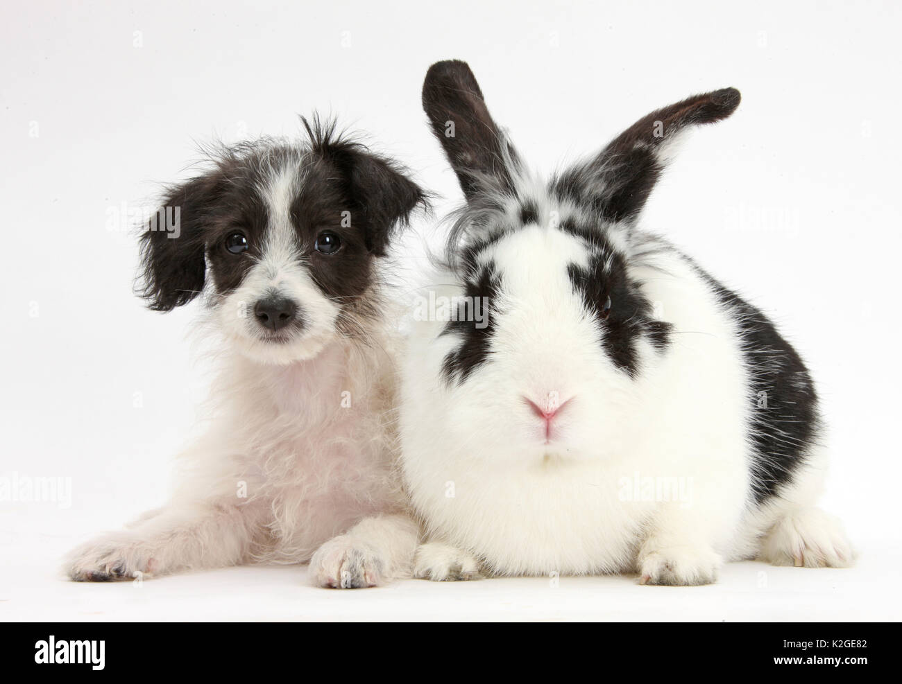 Black-and-white Jack-a-poo, Jack Russell cross Poodle puppy age 8 weeks, with black and white rabbit. - Stock Image
