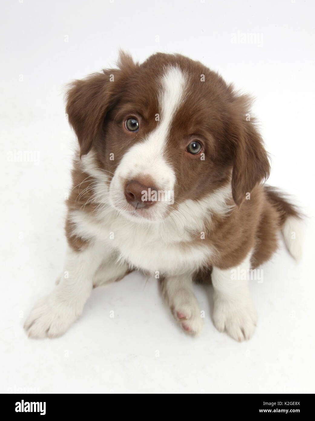Chocolate Border Collie High Resolution Stock Photography And Images Alamy