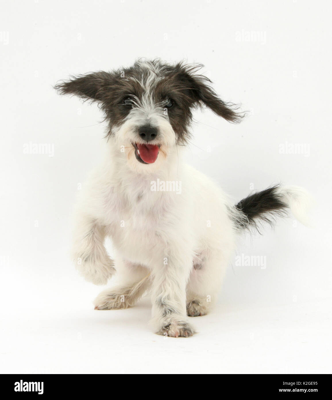 Black-and-white Jack-a-poo, Jack Russell cross Poodle puppy panting. - Stock Image