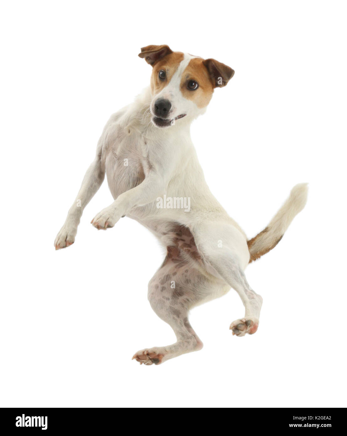 Jack Russell Terrier, Milo, age 5 years, leaping high in the air. - Stock Image
