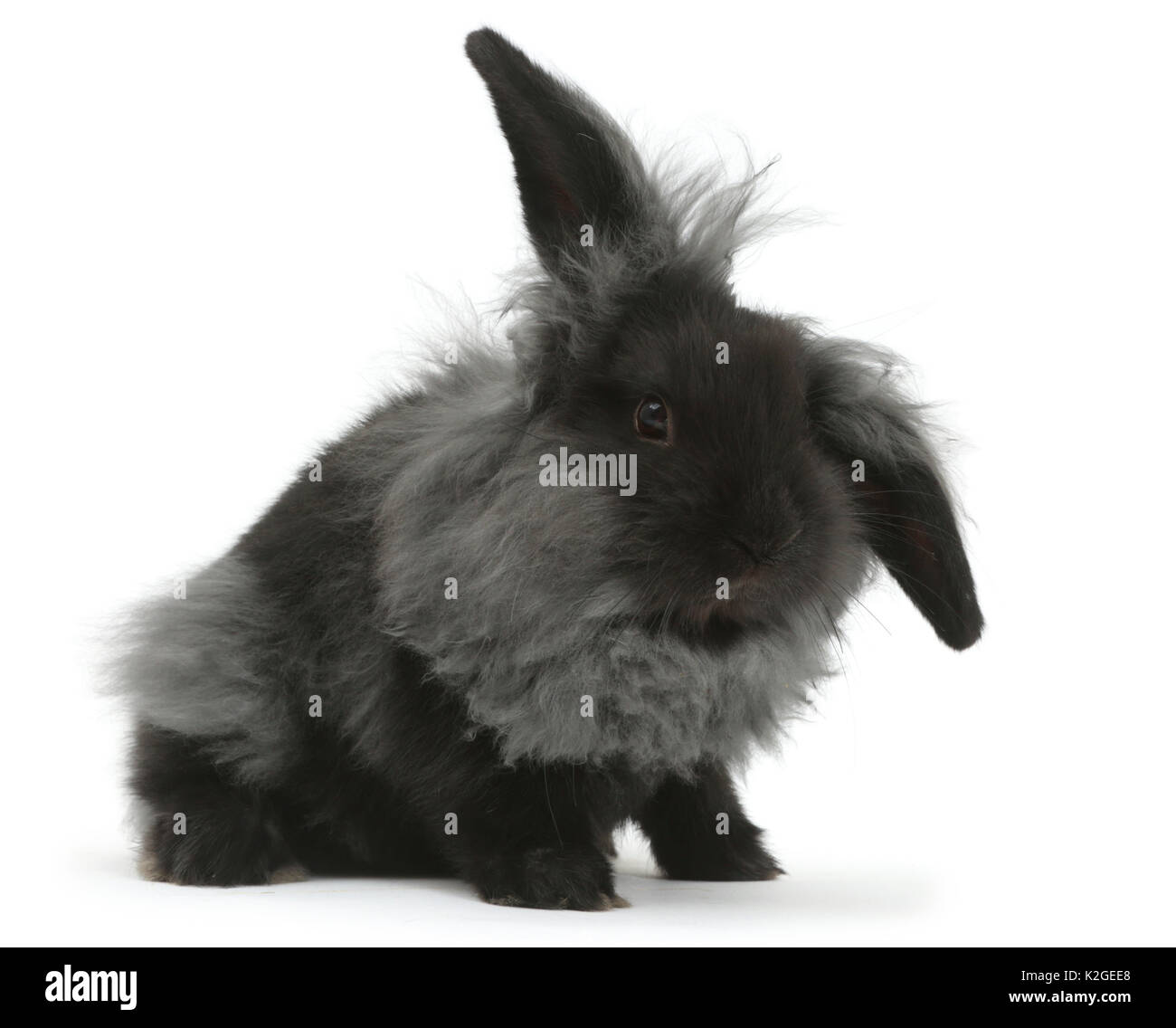 Black smoke fluffy Lionhead x Lop rabbit moulting. Stock Photo