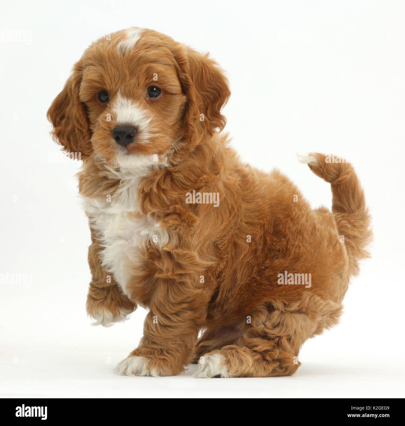 Spaniel Cross Breed High Resolution Stock Photography And Images Alamy