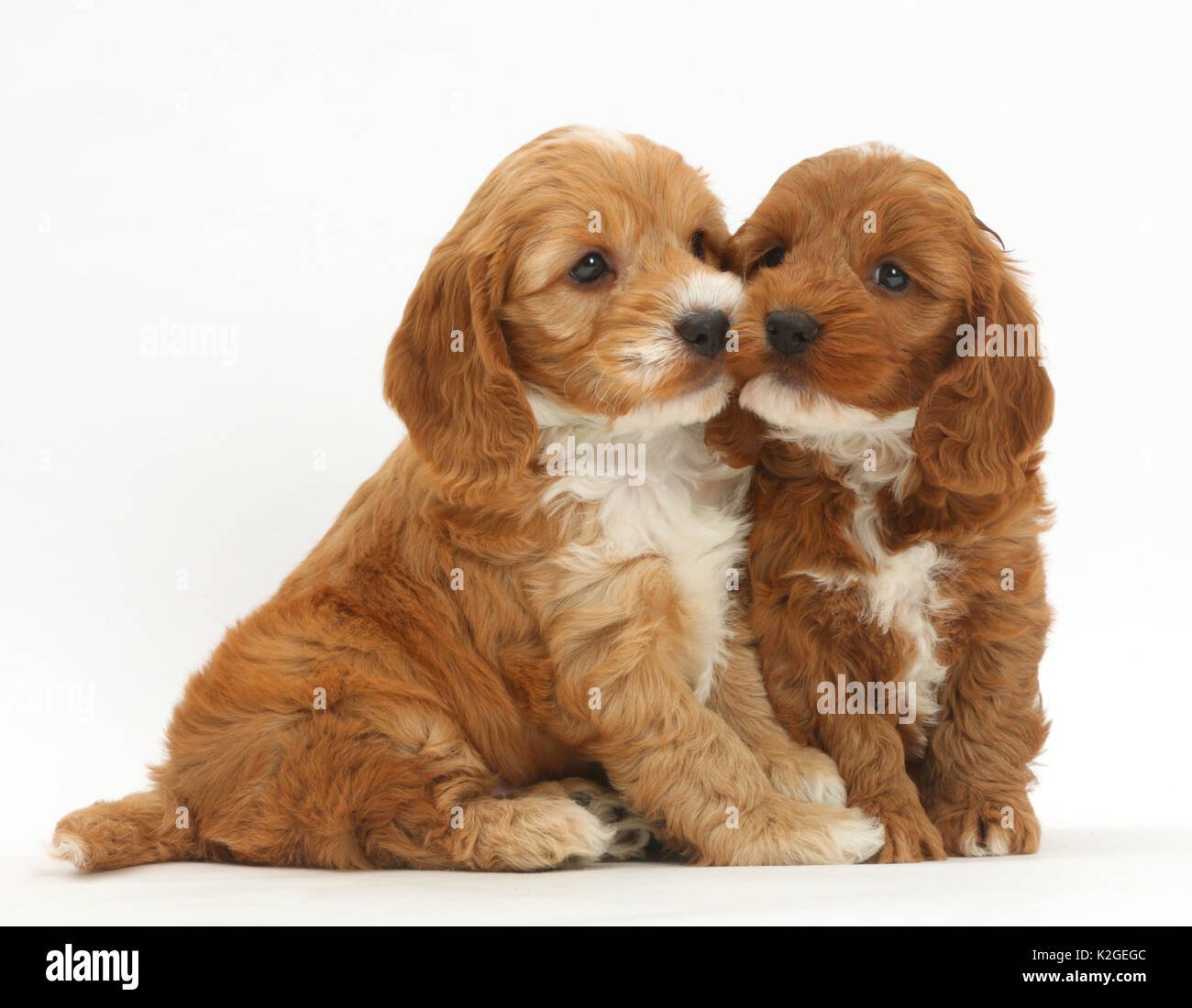 Two Cockapoo puppies, Cocker spaniel cross Poodle. - Stock Image