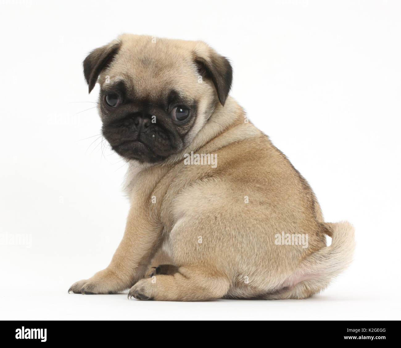 Pug puppy looking over shoulder. - Stock Image
