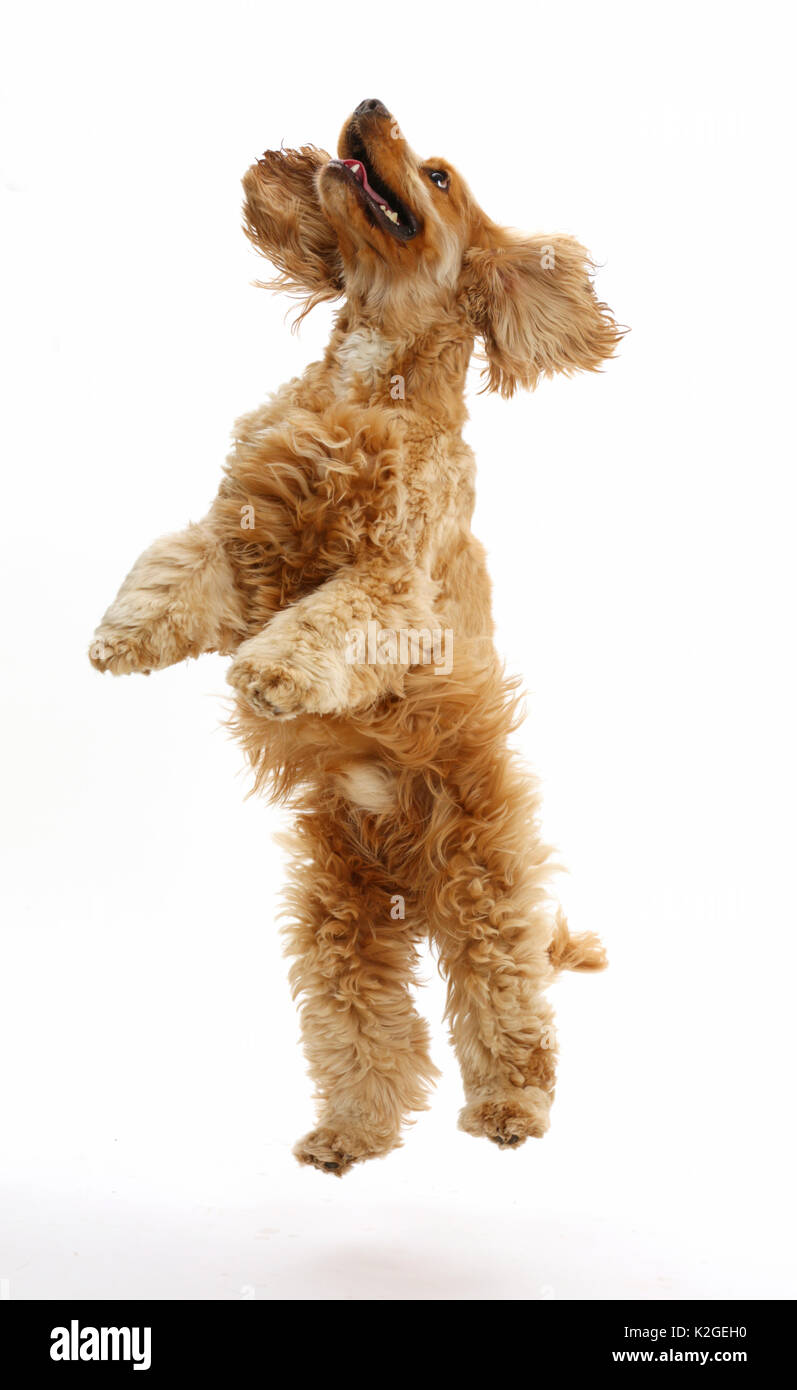 Golden Cocker Spaniel dog, Henry, age 3 years, jumping up. - Stock Image