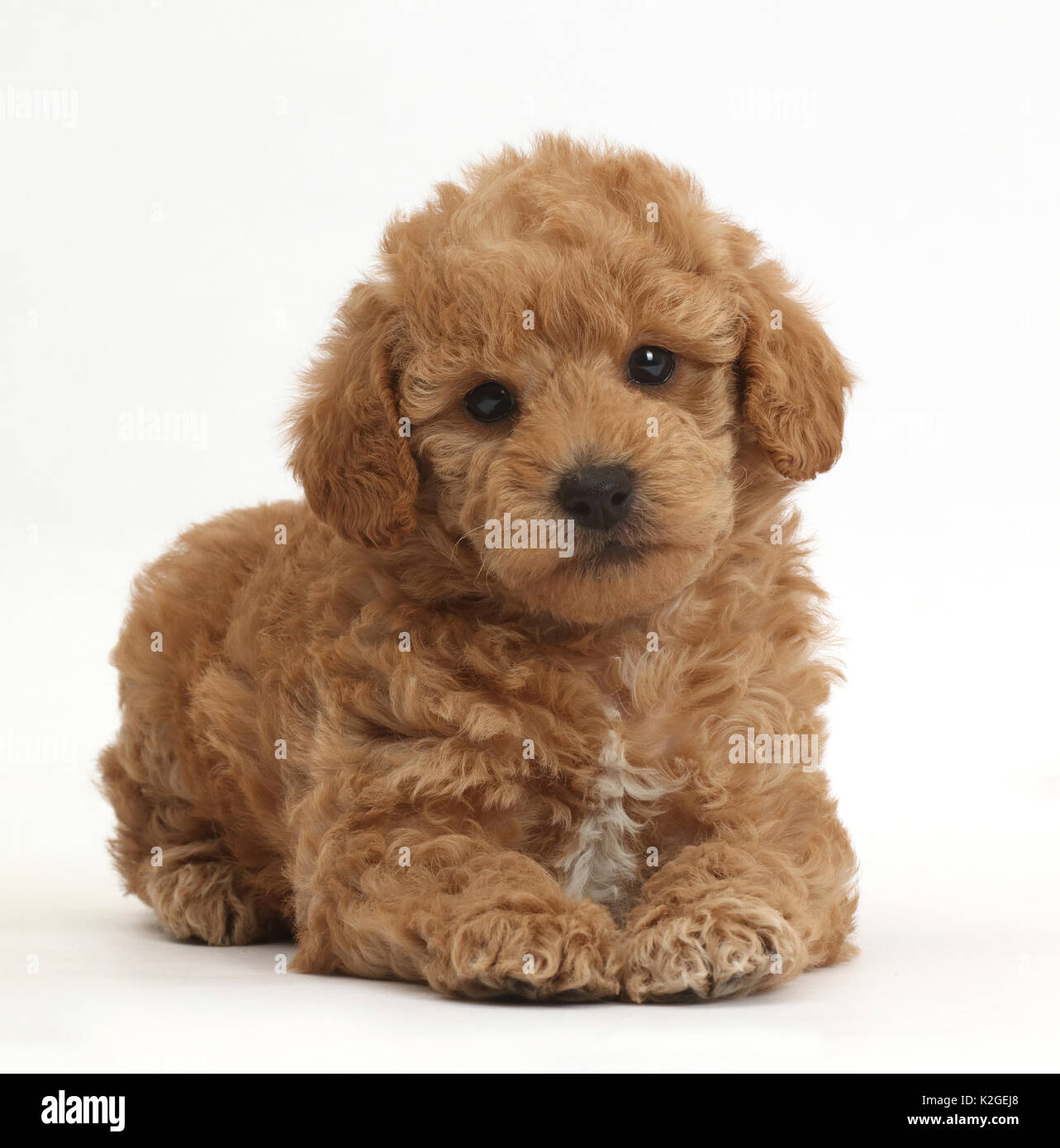 Toy Goldendoodle F1b Golden Retriever Cross Toy Poodle