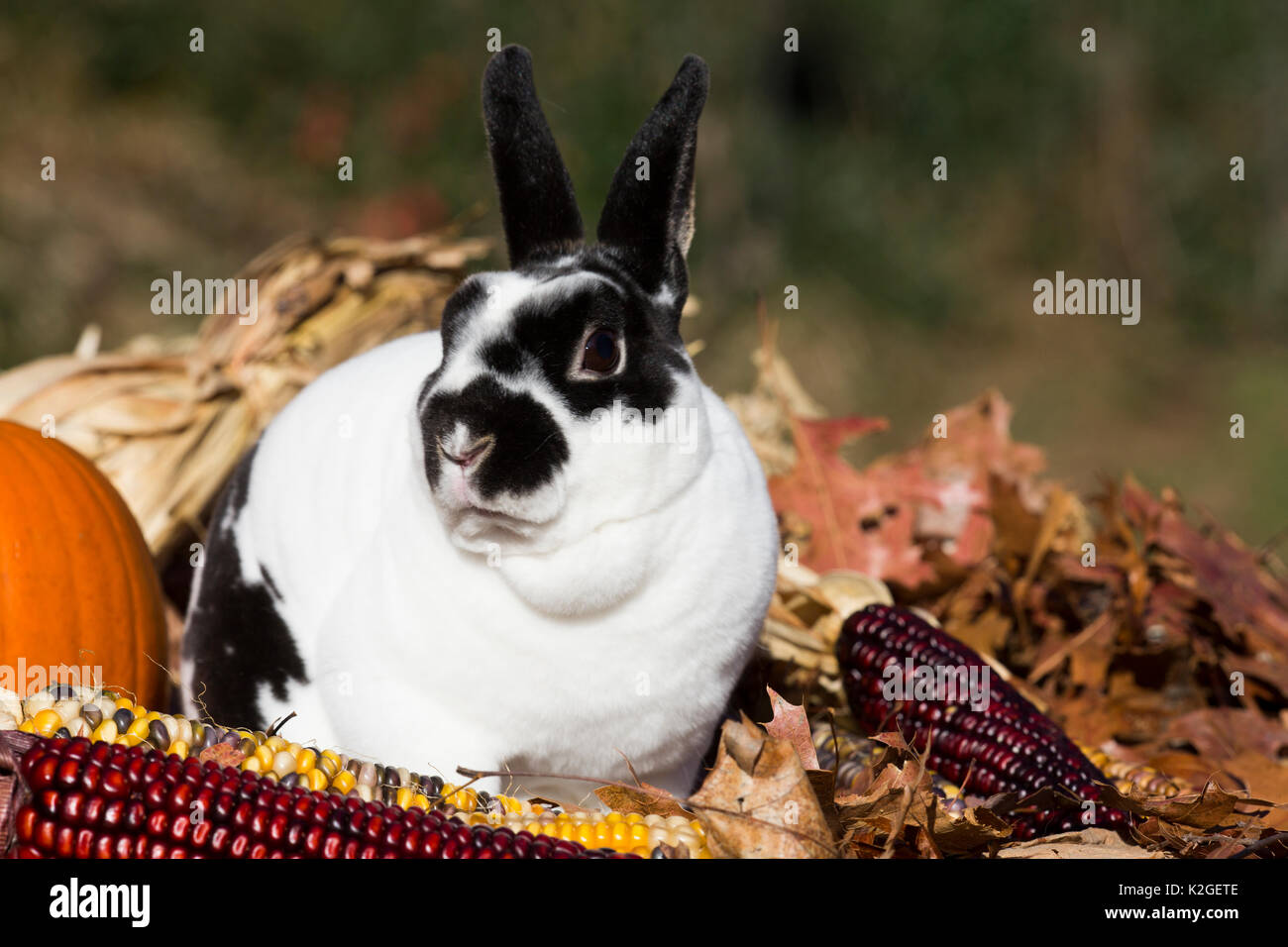 Mini Rex Rabbit in oak leaves and ears of Indian corn, Newington, Connecticut, USA - Stock Image