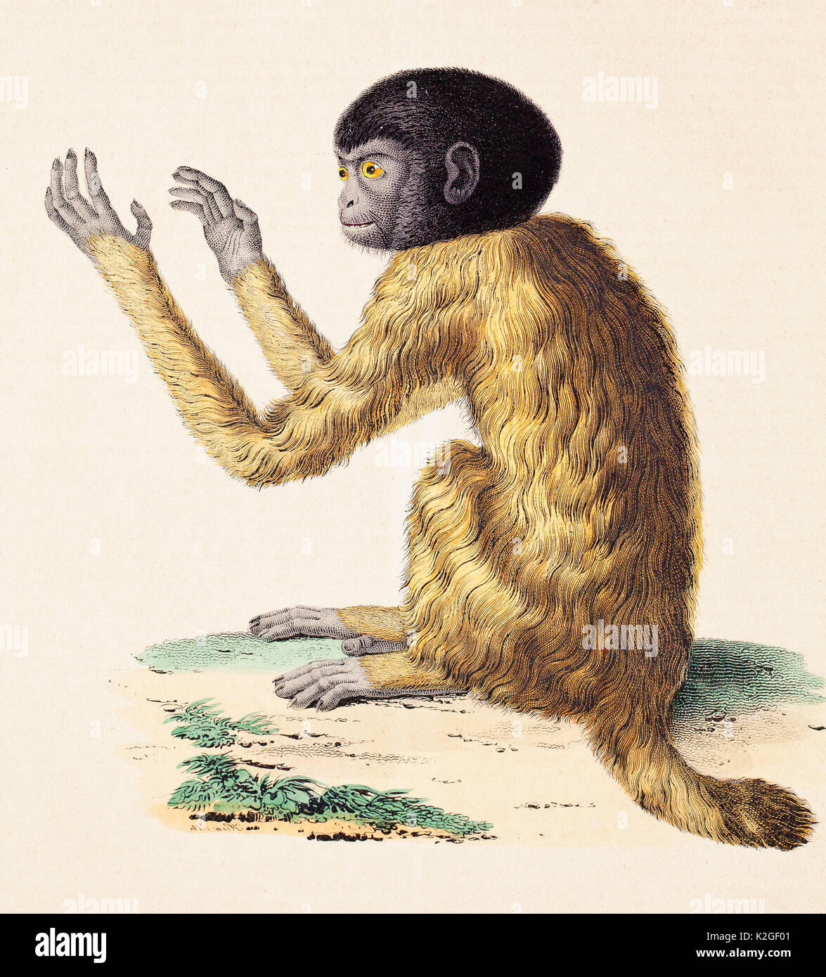 Illustration of a Black headed uakari (Cacajao melanocephalus) engraving from a sketch by Alexander von Humboldt and Aime Bonpland, included in their volume on comparative zoology and anatomy. The sketch was based on a pet monkey they kept on their Orinoco journey. - Stock Image