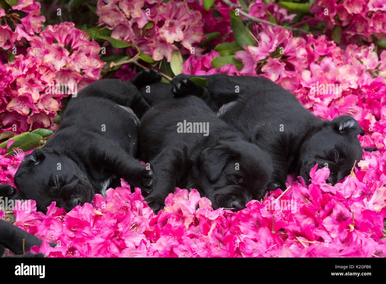 Three black labrador retriever pups, age five weeks, sleeping in rhododendron flowers, USA. - Stock Image