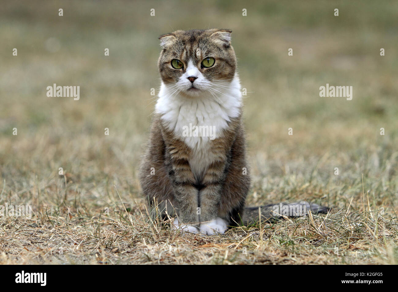 Scottish fold cat, Alsace, France, July. - Stock Image
