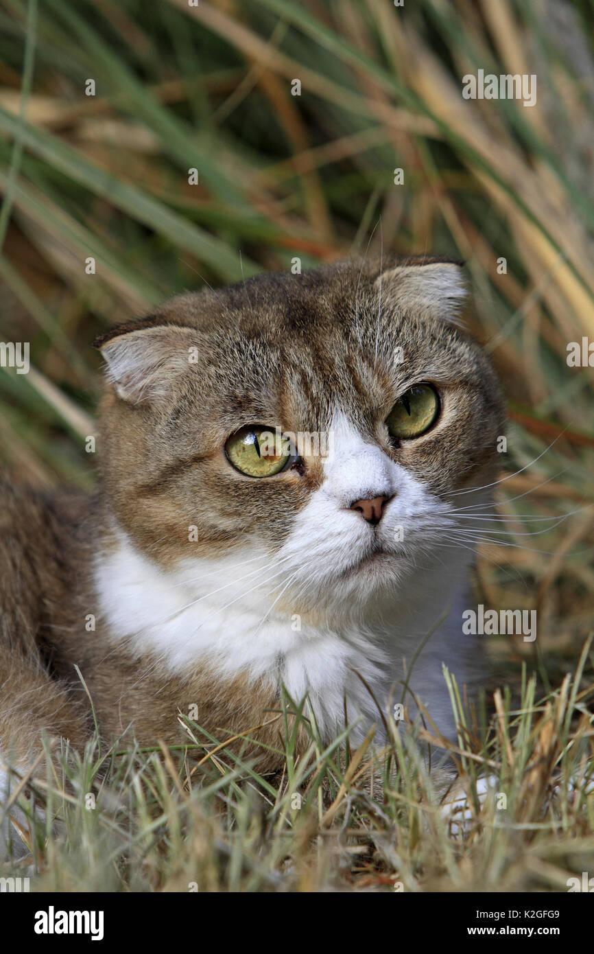 Scottish fold cat portrait. Alsace, France - Stock Image