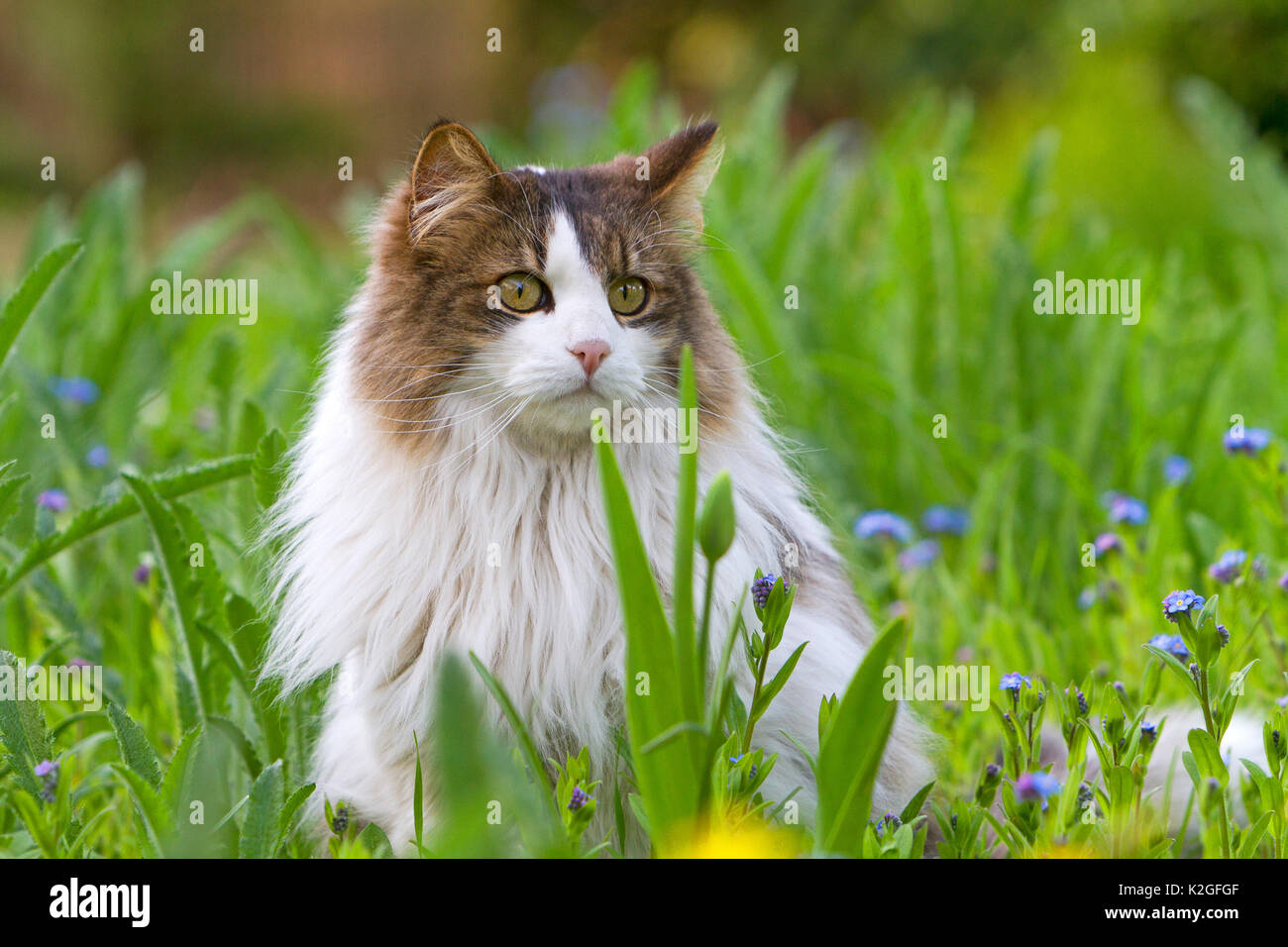 Long haired domestic cat portrait , sitting in grass, France - Stock Image