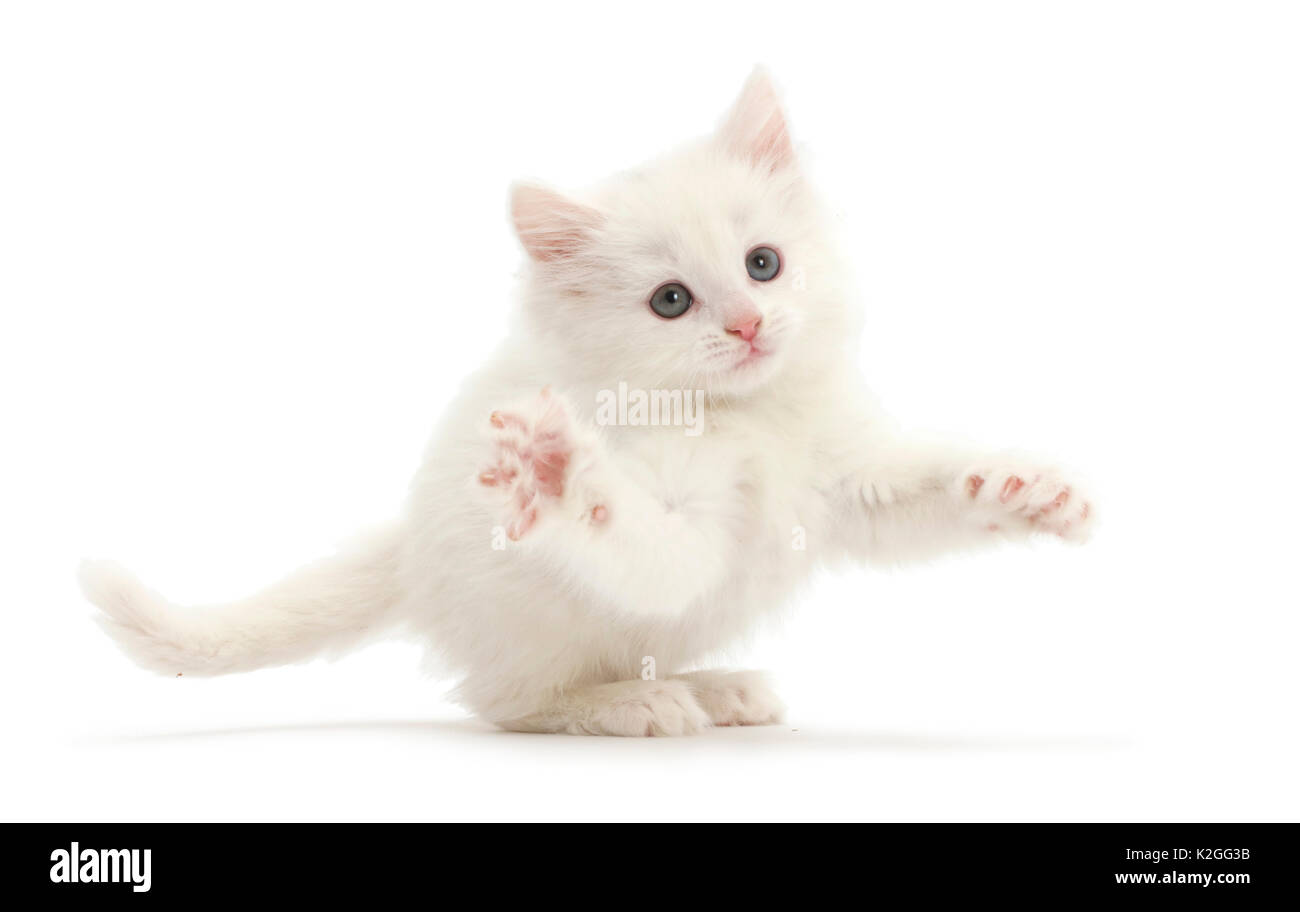 White kitten leaping. - Stock Image