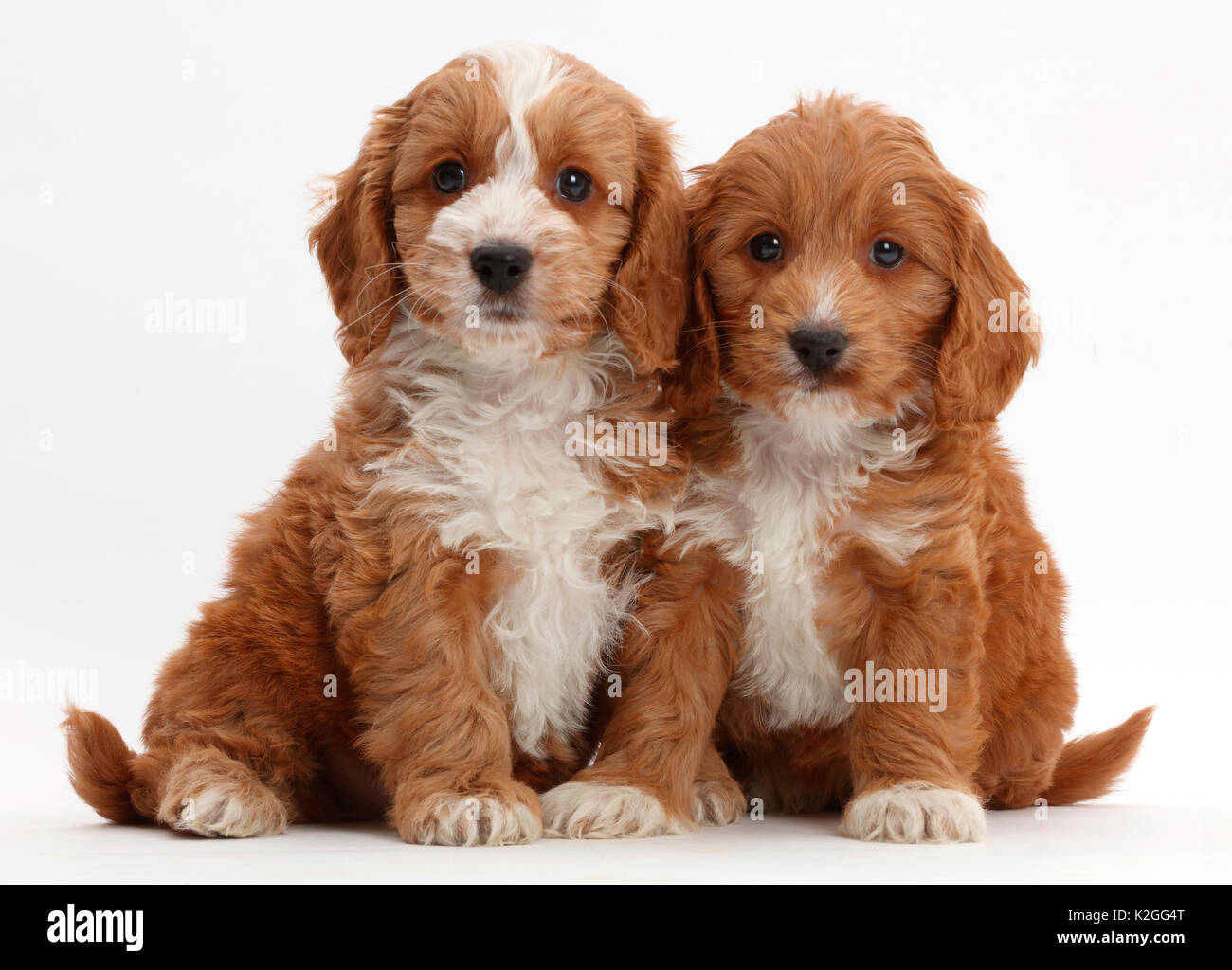 Two Red Toy Cockapoo Puppies Stock Photo Alamy