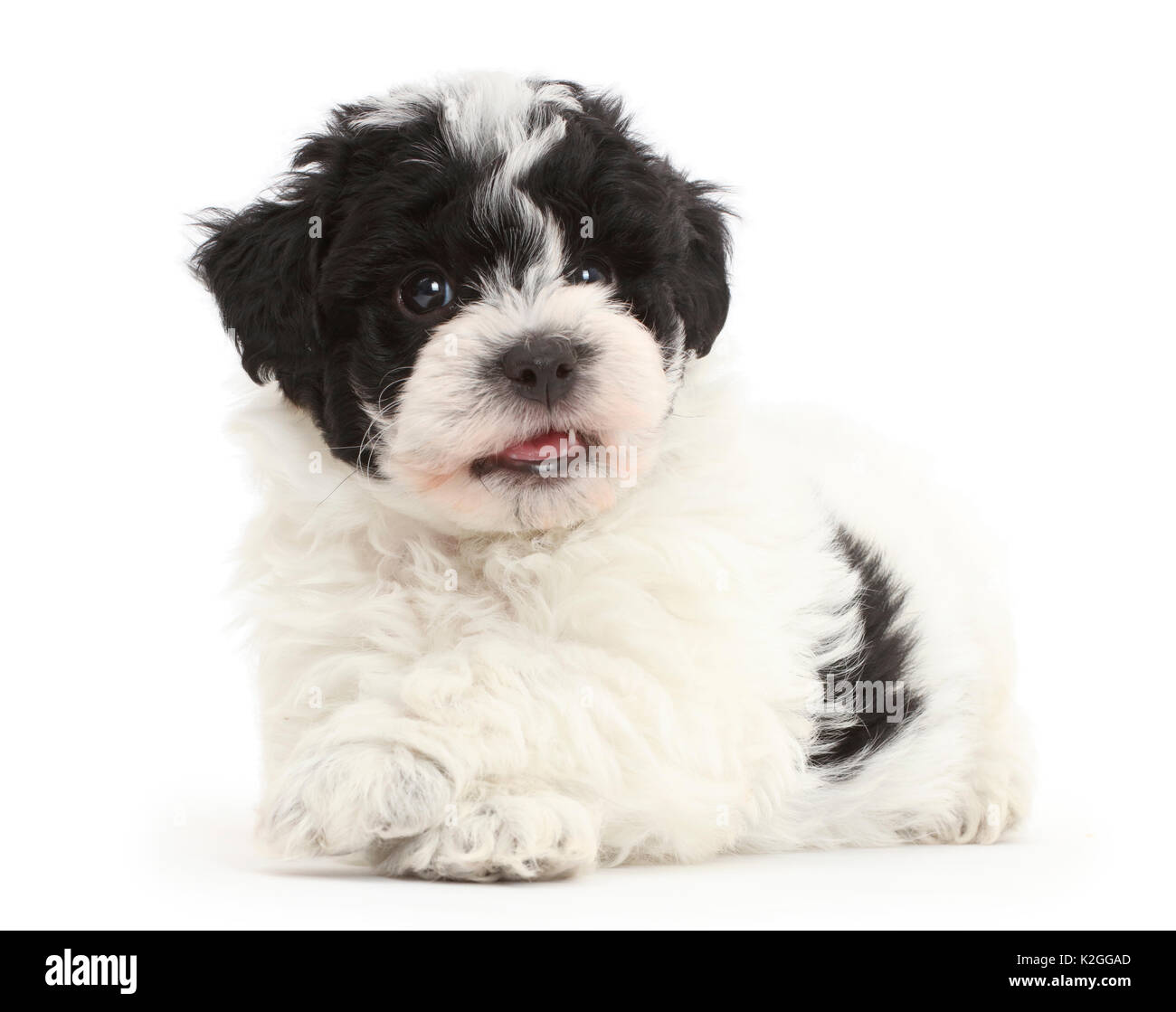 Black And White Cavapoo Puppy High Resolution Stock Photography And Images Alamy
