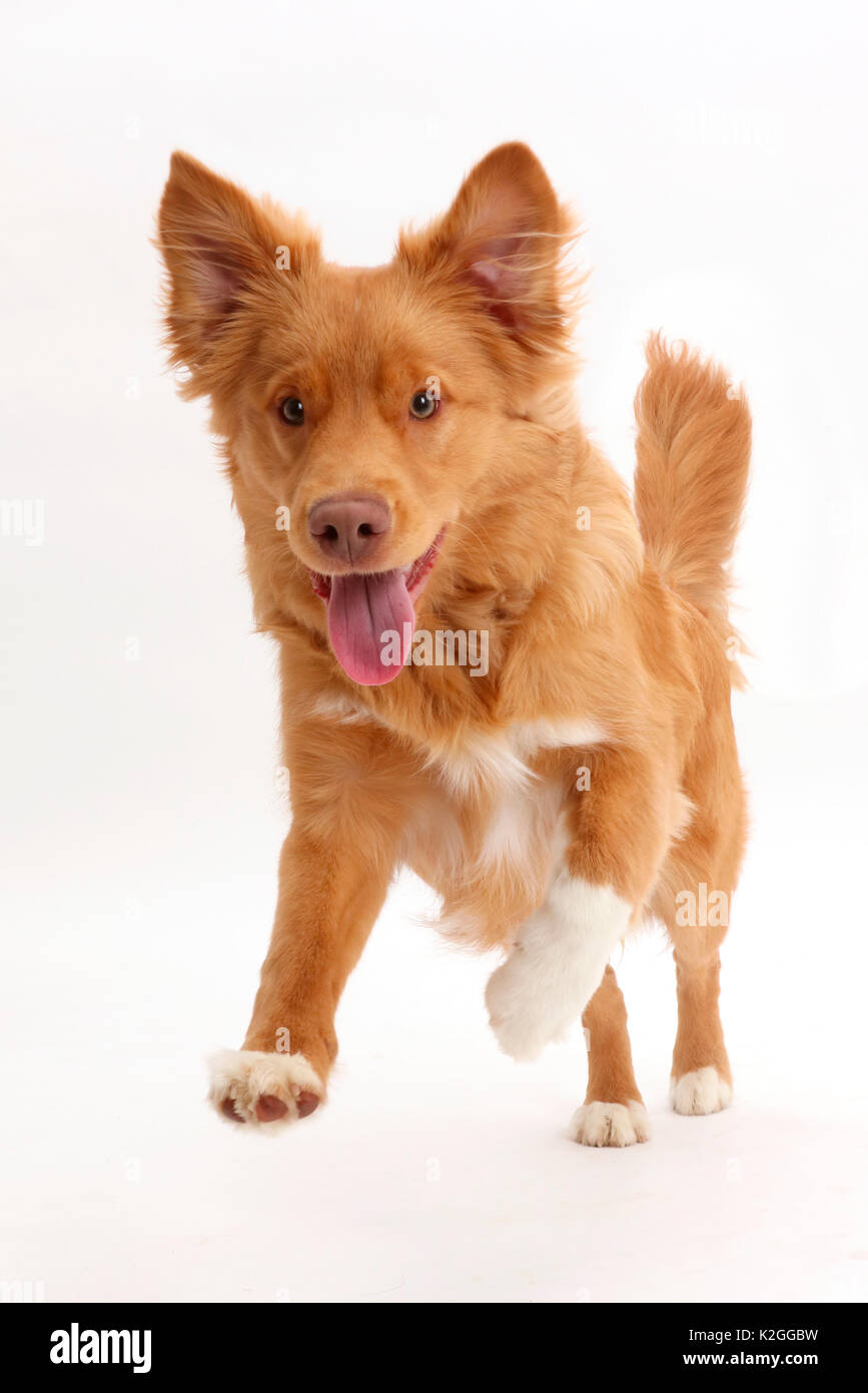 Nova Scotia Duck Tolling Retriever dog, age 6 months, leaping forward. - Stock Image