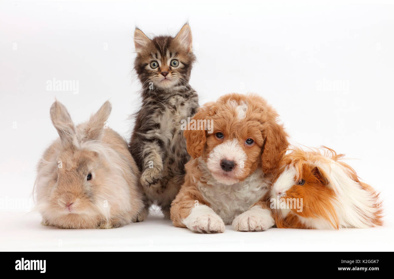Tabby kitten, Goldendoodle puppy, rabbit, and Guinea pig. - Stock Image