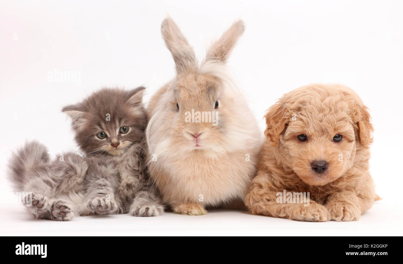 Grey kitten, Goldendoodle puppy and rabbit. - Stock Image