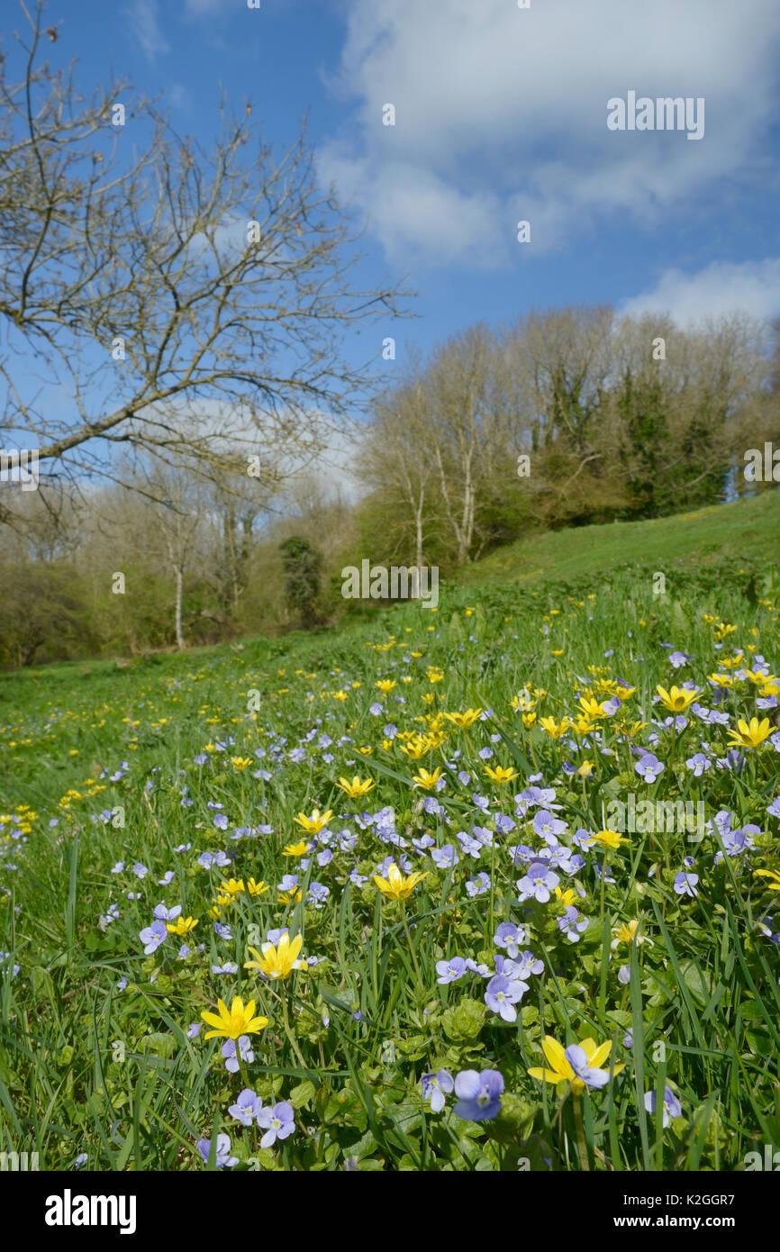 Carpet of Germander speedwell (Veronica chamaedrys) and Lesser celandines (Ranunculus ficaria) flowering on a hillside meadow, Bathwick, Bath and Northeast Somerset, UK, April. - Stock Image