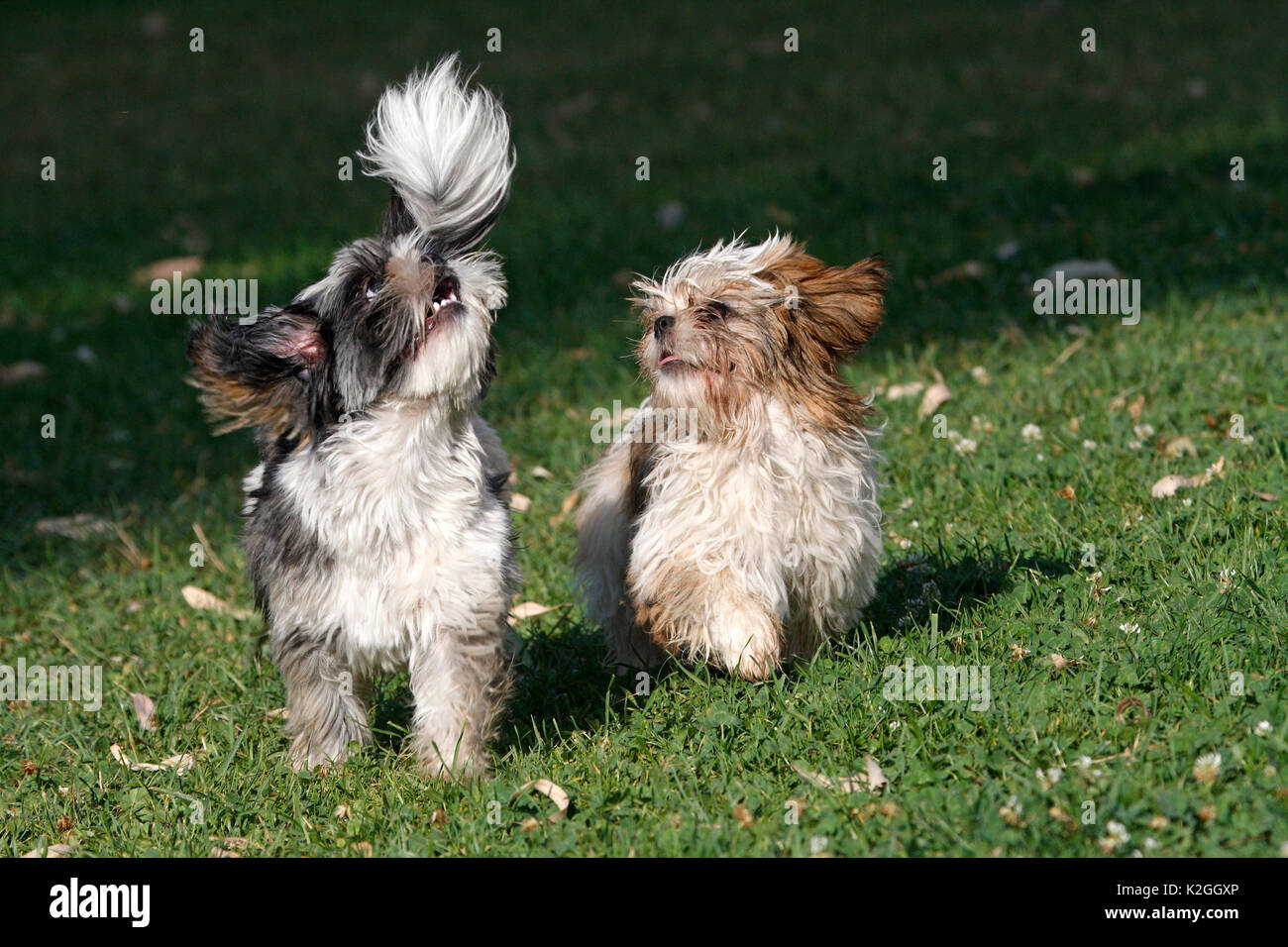 Shih tzu dogs (Canis familiaris) male and female, aged 4 years,  playing and running in field, Var, Provence, France, August - Stock Image