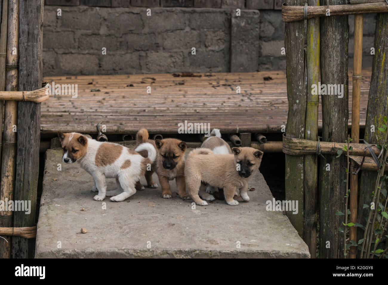 Puppies outside house, these animals are kept as pets but also sometime eaten in the Apatani Tribe. Ziro Valley, Himalayan Foothills, Arunachal Pradesh, North East India, November 2014. - Stock Image