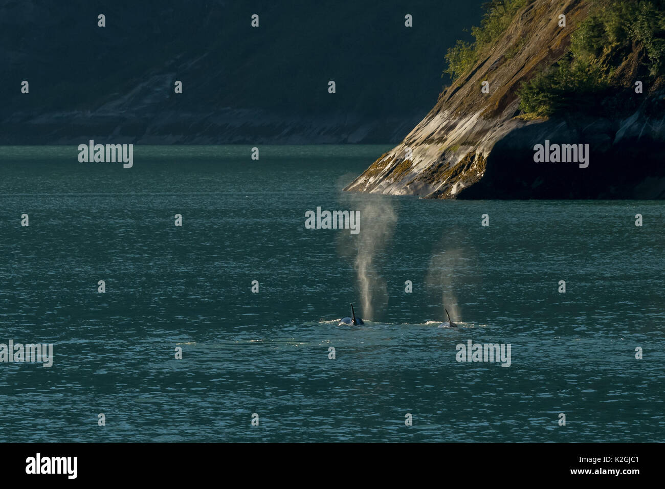 Two killer whales or orcas (Orcinus orca) traveling in Southeast Alaska's Inside Passage. - Stock Image