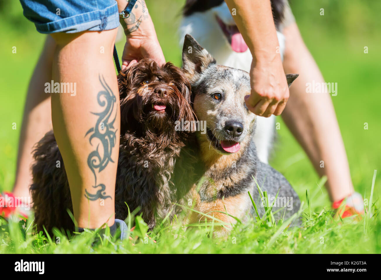 picture of a woman who gives an Australian cattledog and a Havaneser dog a treat Stock Photo