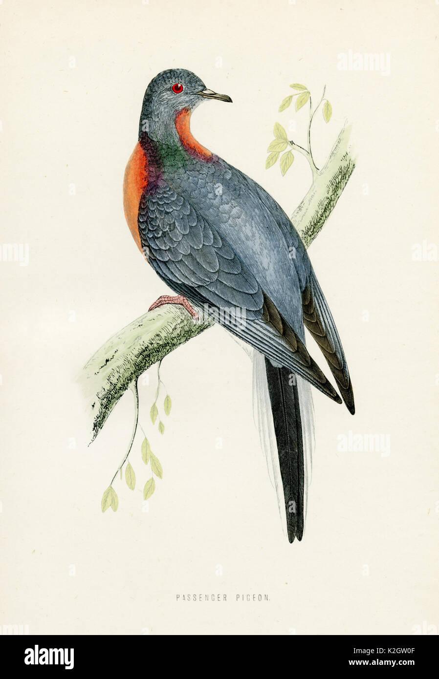 Wandertaube - Ectopistes migratorius - Stock Image