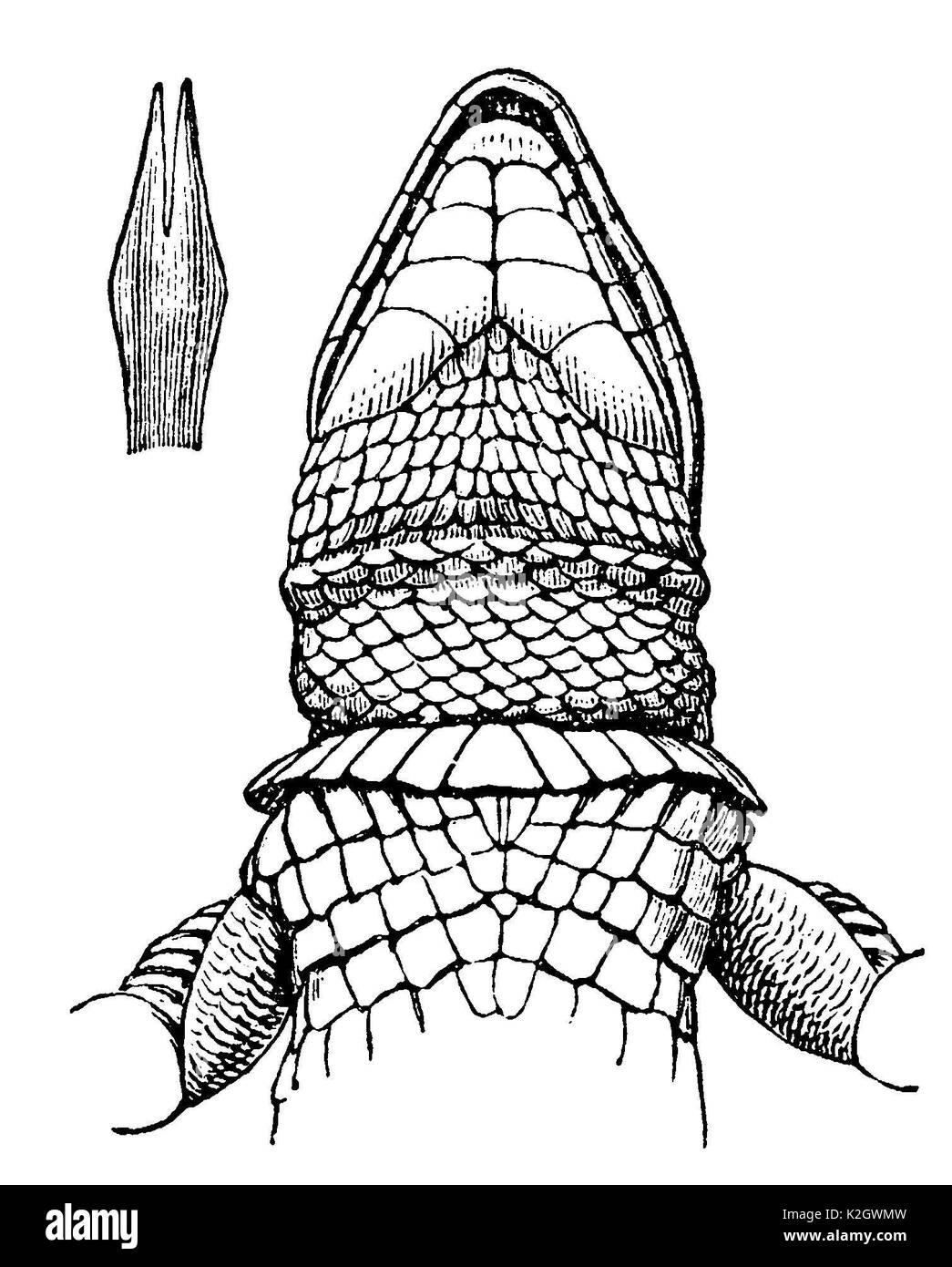 Lizard from below, upper left: tongue - Stock Image