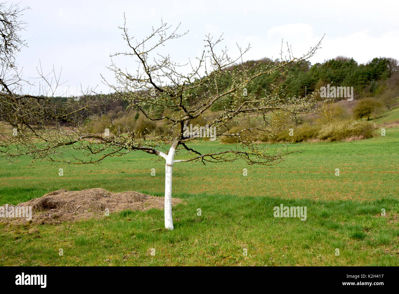 Whitewashed fruit tree stems, protection against frost - Stock Image