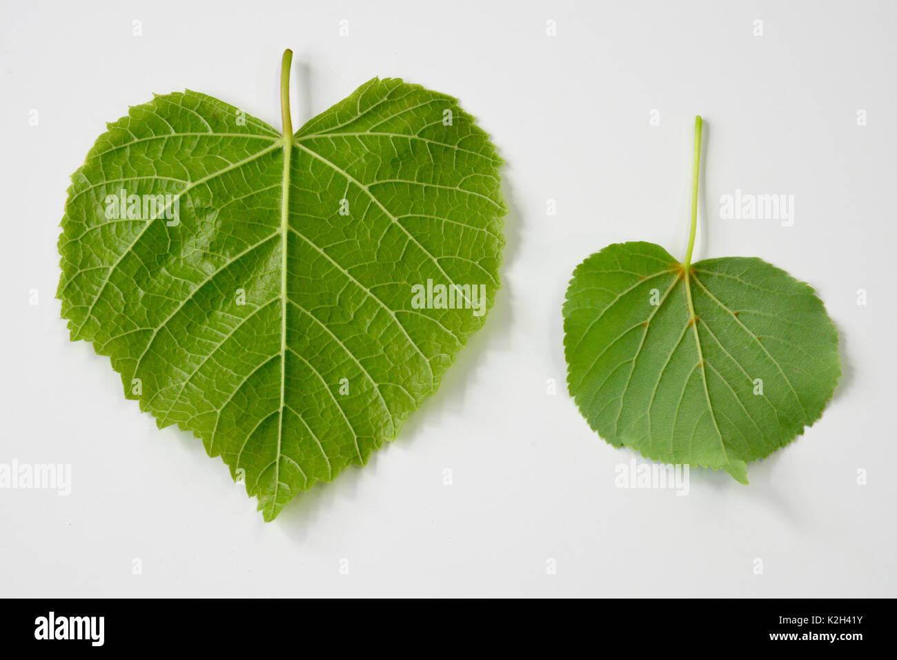 Large leaved Lime (Tilia platyphyllos) left side, leaf and littel-leaved LIme (Tilia cordata)right side, leaf Stock Photo