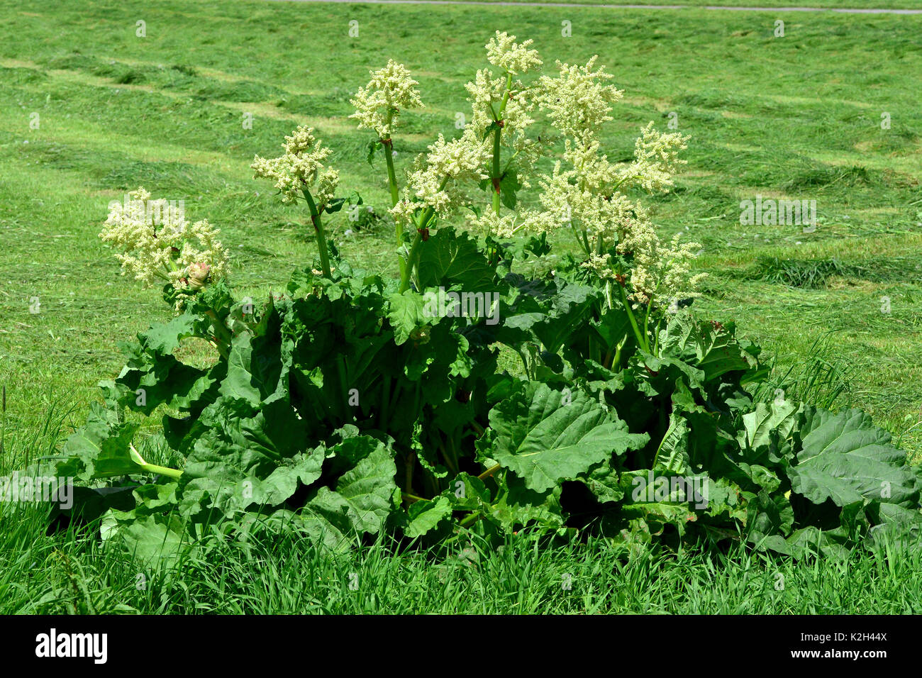 Garden Rhubarb (Rheum rhabarbarum), flowering. - Stock Image