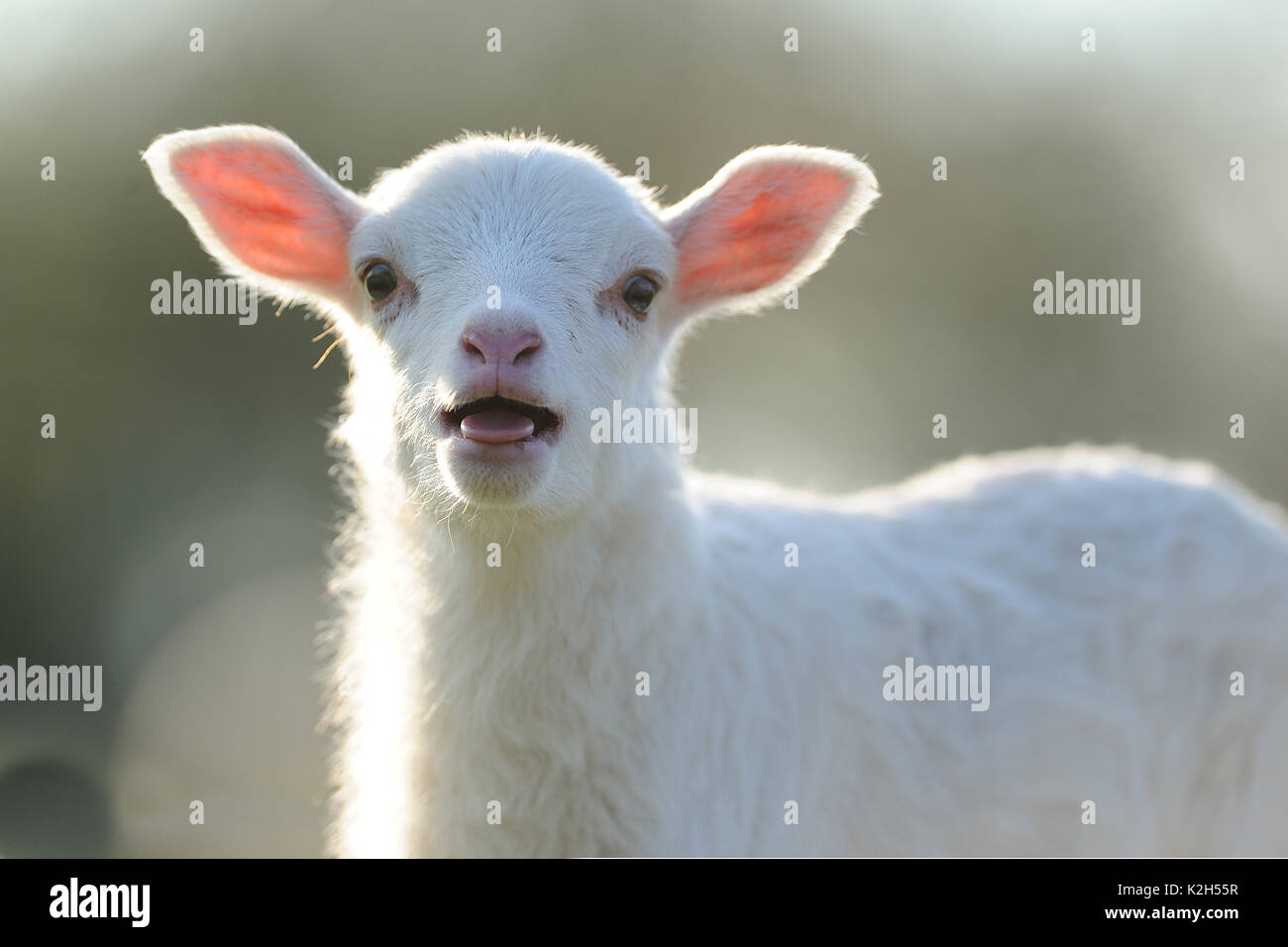 Domestic Sheep. Portrait of a lamb on a meadow, bleating. Germany - Stock Image