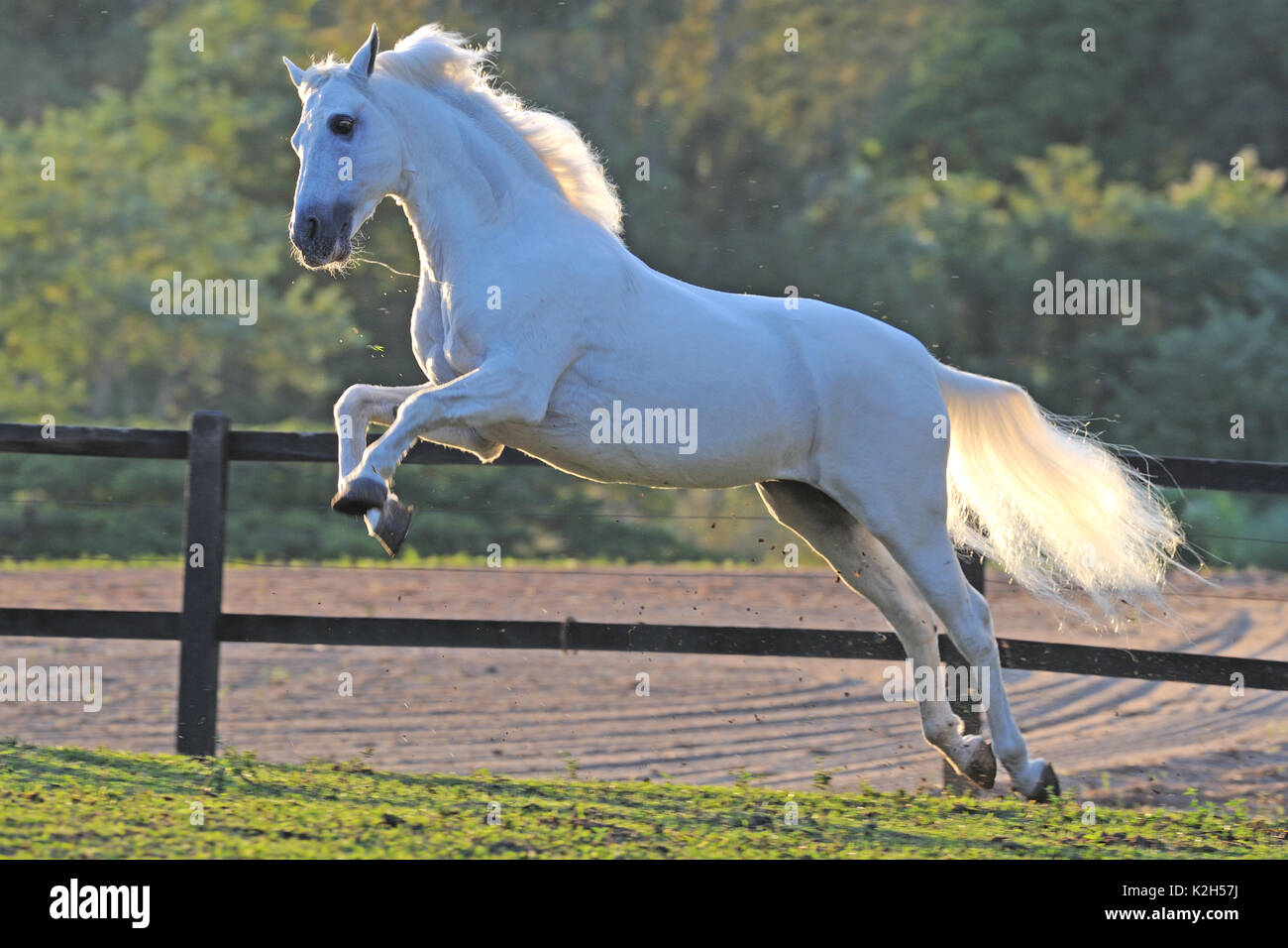 Mangalarga Marchador. Gray stallion leaping on a pasture. Germany - Stock Image