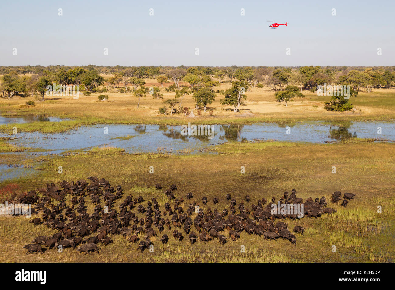 African Buffalo, Cape Buffalo (Syncerus caffer) herd roaming through the freshwater marsh, the helicopter is on a scenic flight, aerial view - Stock Image