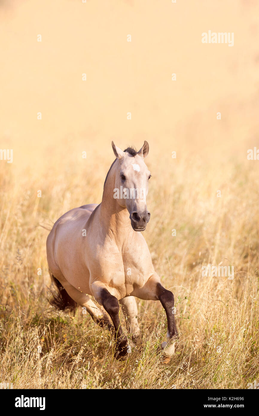 Lusitano. Dun stallion galloping on a pasture. Portugal - Stock Image