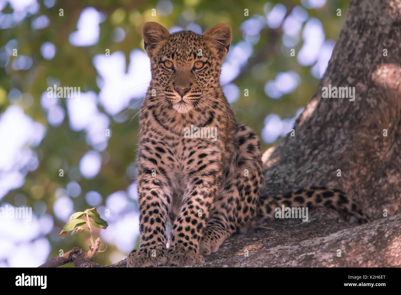 Leopard (Panthera pardus), seven month old cub in at ree Stock Photo