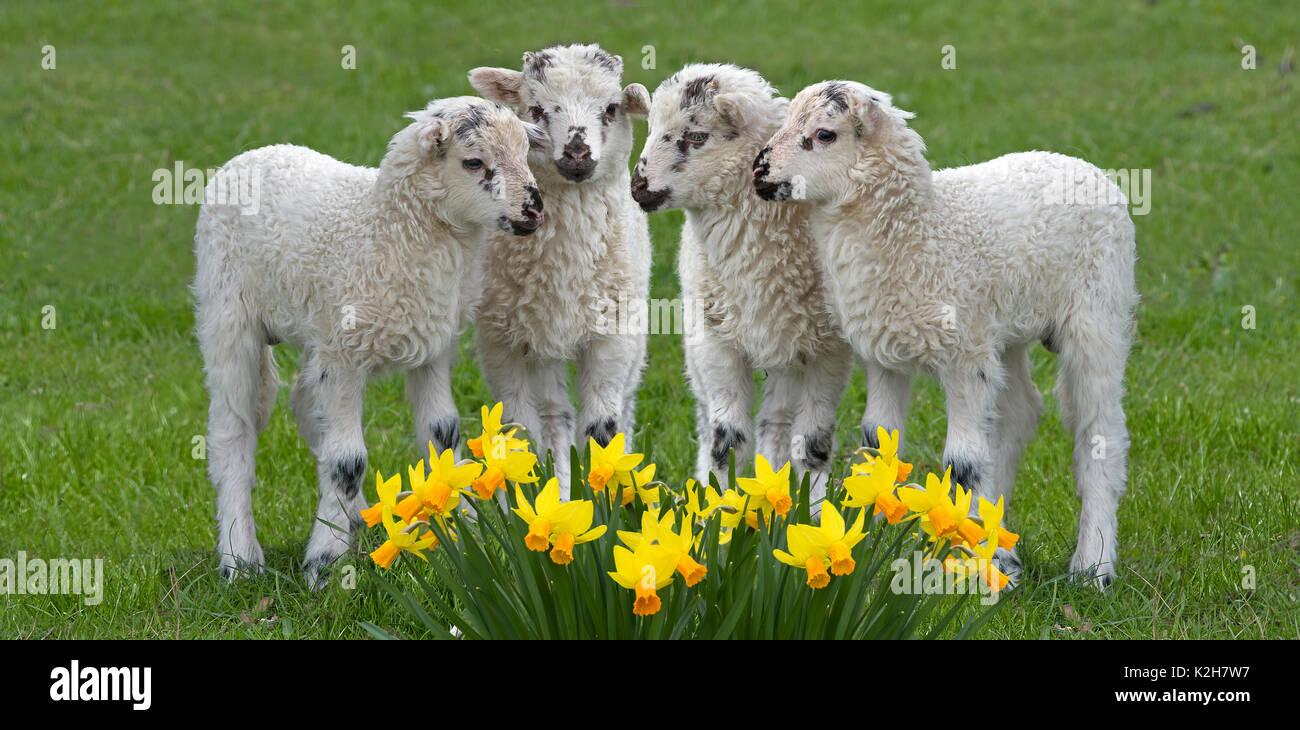 Domestic Sheep, Valachian Sheep, native walachian sheep (Ovis orientalis aries, Ovis ammon aries), 4 lambs standing on a meadow behind blooming dafffodils. - Stock Image