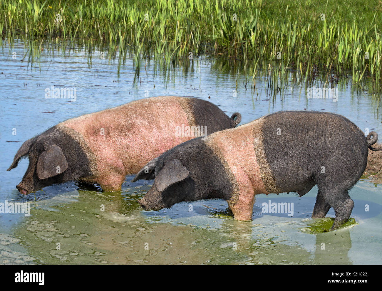 Domestic Pig (Sus scrofa domestica), breed: Angeln Saddleback, two individuals standing in a pond drinking - Stock Image