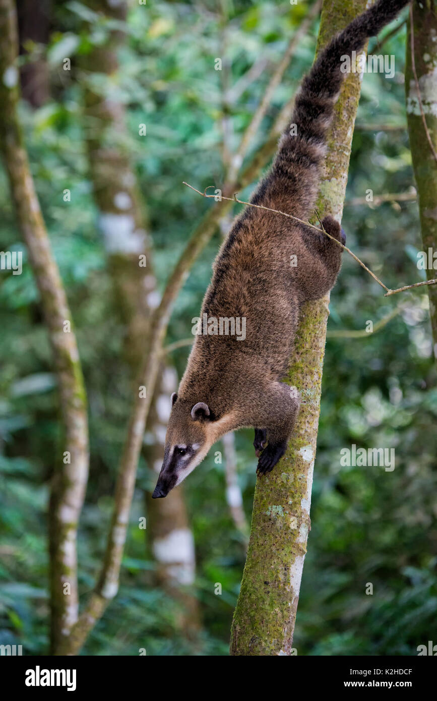Coati (Nasua or Nasuella) climbing on a tree, Iguazu National Park, Parana State, Brazil - Stock Image