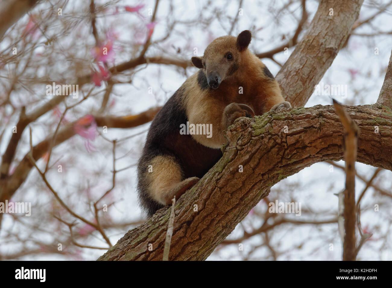 Southern tamandua or collared anteater or lesser anteater (Tamandua tetradactyla) climbing on a tree, Pantanal, Mato Grosso, Brazil - Stock Image