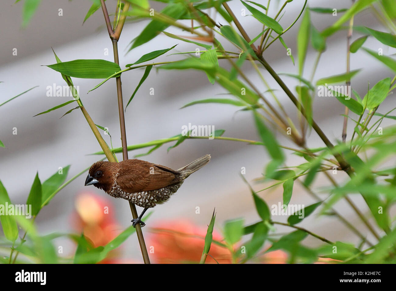 Scaly-breasted munia on the bamboo tree - Stock Image