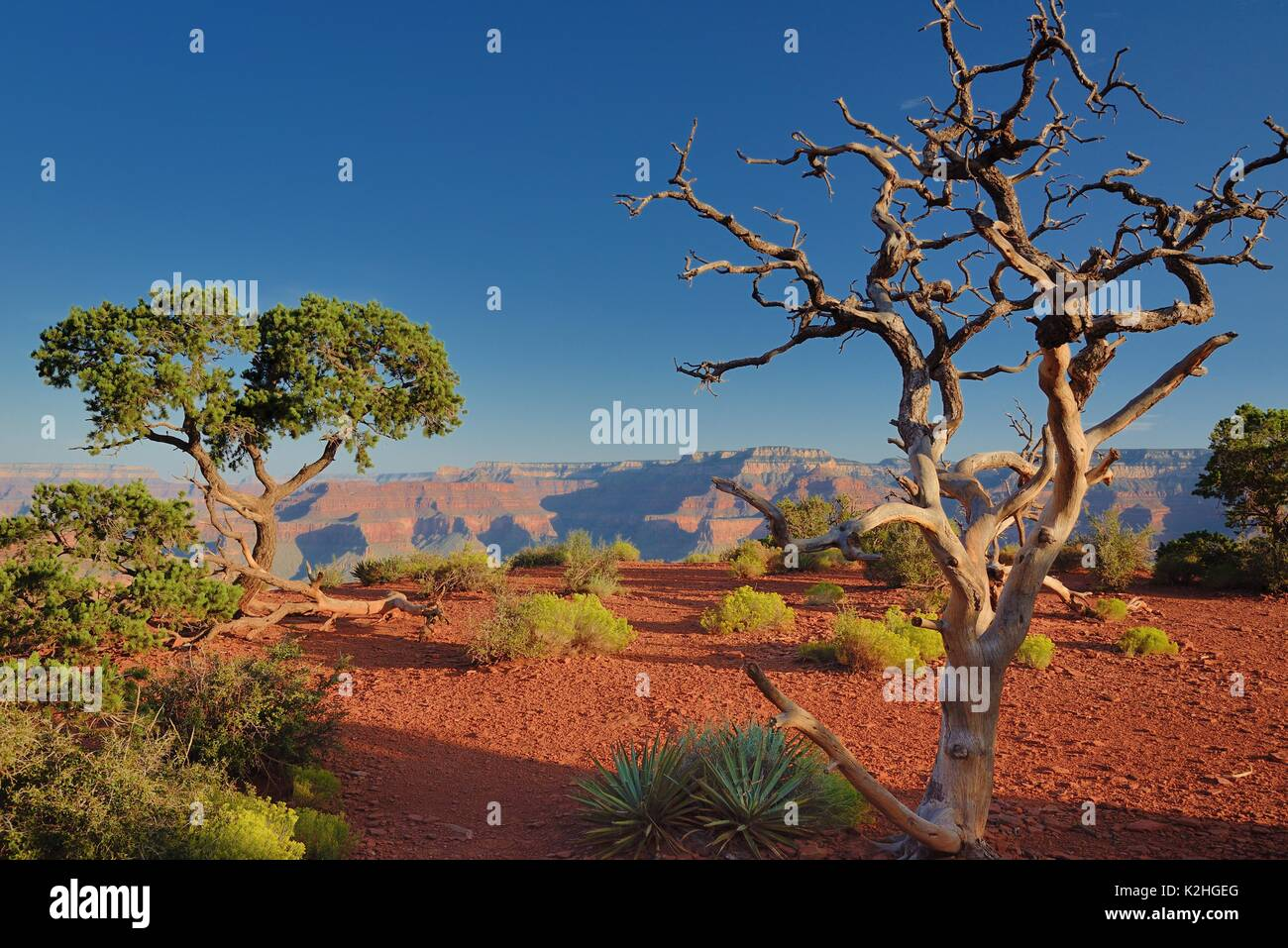 Grand Canyon South Kaibab Trail Cedar Ridge early morning long shadows with dead pine tree and red dust - Stock Image