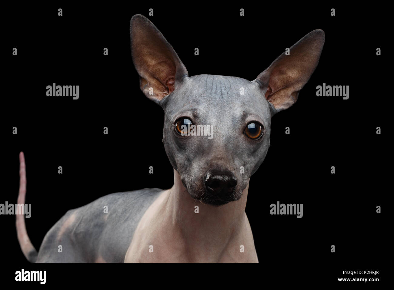 American Hairless Terrier - Stock Image