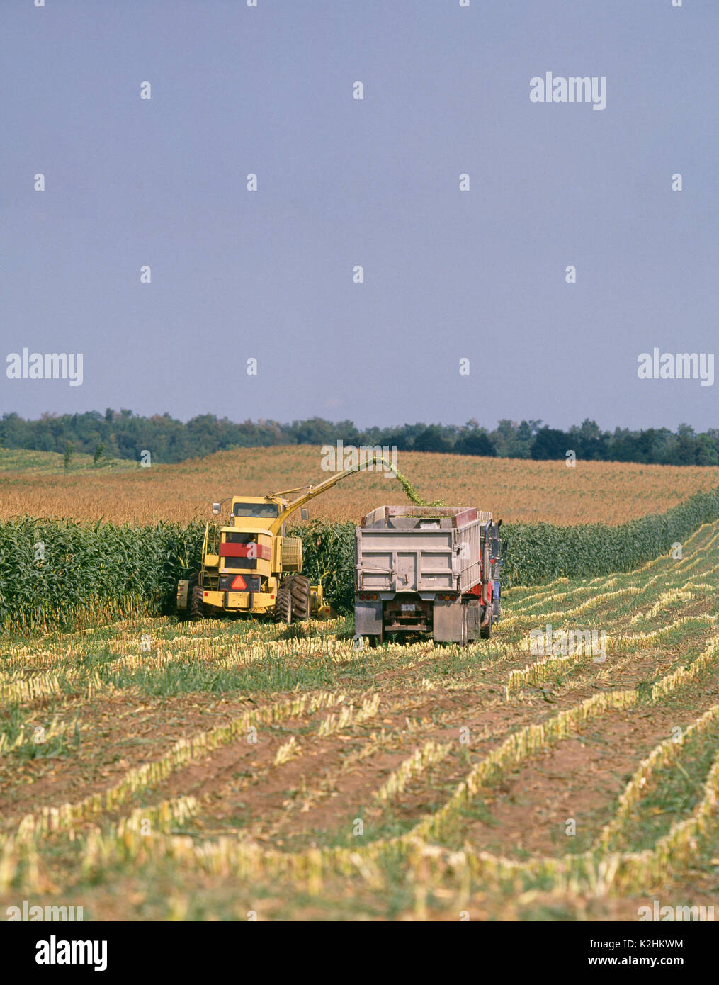 CORN SILAGE HARVEST USING 2115 NEW HOLLAND SELF-PROPELLED CHOPPER WITH GROW HEAD, BLOWING IN TO TRACTOR TRAILERS WITH DUMP TRAILERS ALONGSIDE CHOPPER - Stock Image