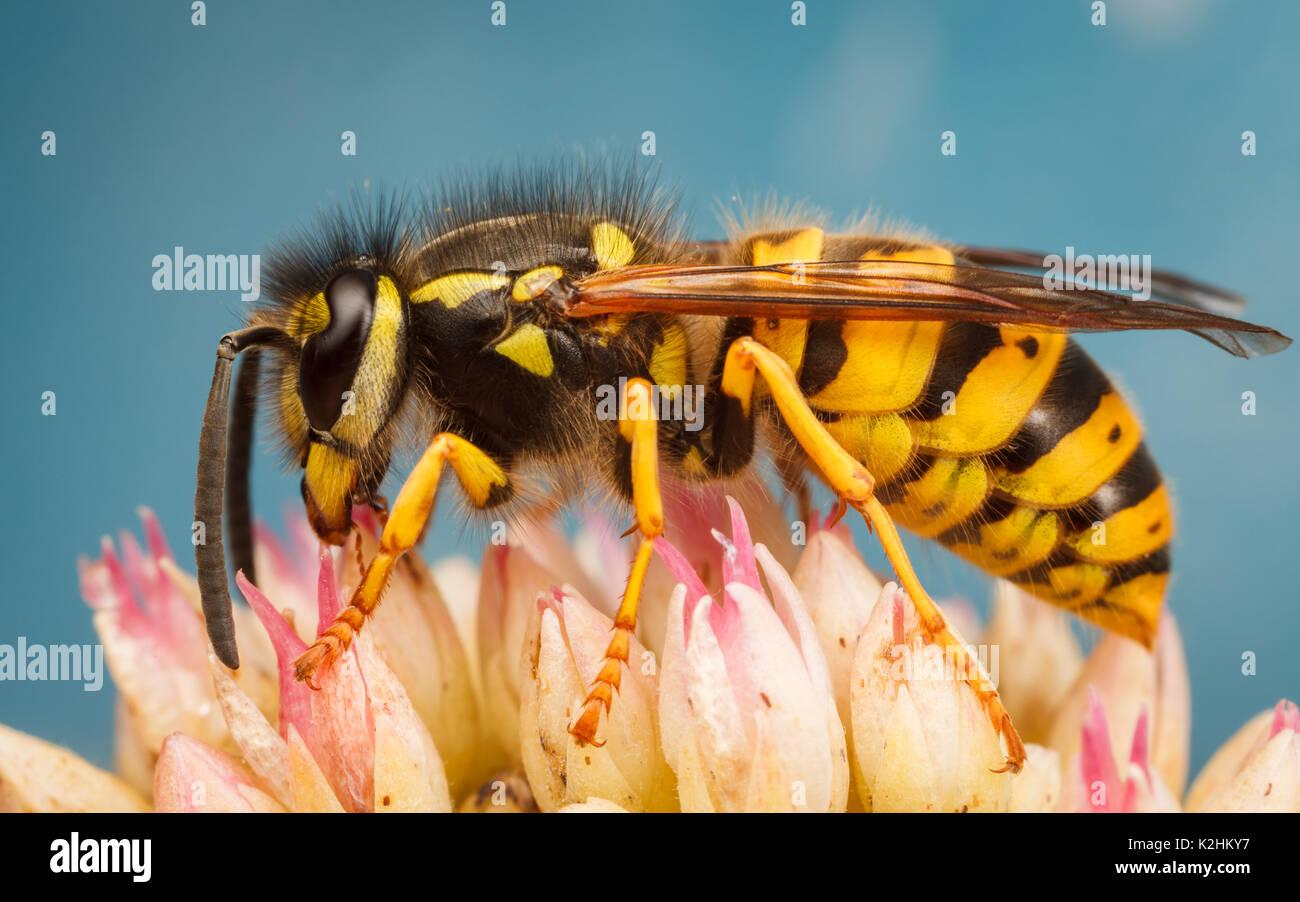 Common Wasp, Vespula vulgaris - Stock Image